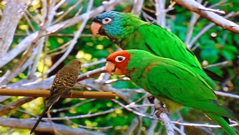 Parrots Of Telegraph Hill august 2012