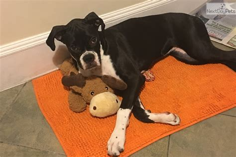 boxer puppies ny akc boxer puppy black white boxer for sale in new york ny