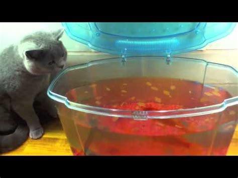 can dogs eat goldfish my cat eats a goldfish doovi