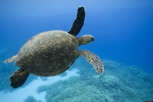 Sea Turtle Top View Images & Pictures   Becuo