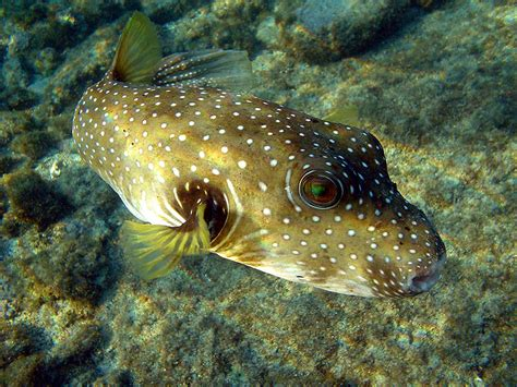 picture    puffer fish tetraodontidae pictures