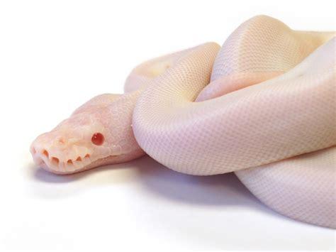 image gallery leucistic vs albino