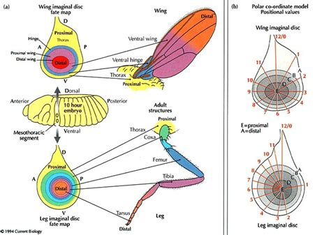 pattern formation in the drosophila wing the development of the veins pattern formation the beginning and the end of insect