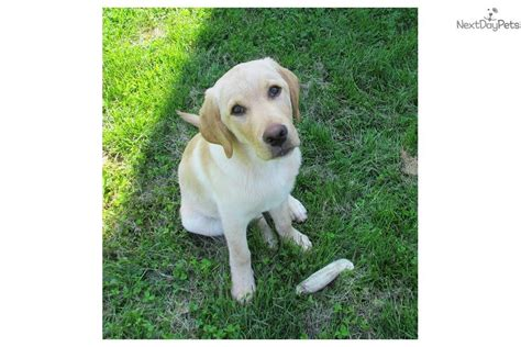 trained therapy dogs for sale meet fully trained 4 age a labrador retriever puppy for sale for 1 650 cutter