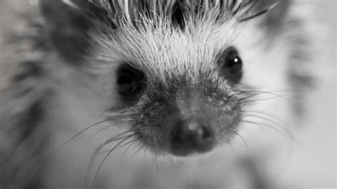 hedgehog colors colour variations in pygmy hedgehogs hedgehogs