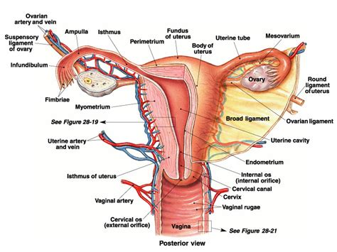 diagram of a vagiana reproductive system senior hsa project 2014