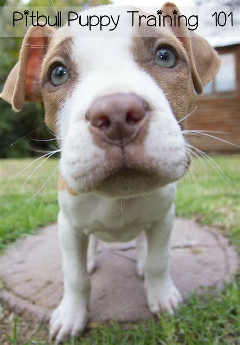 pitbull puppy tips pitbull puppy tips pitbull puppy 101 vills