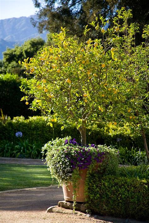Backyard Lemon Tree by 1000 Ideas About Potted Trees On Garden