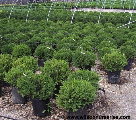wilson northern charm boxwood wilson nurseries