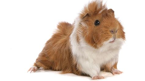 Guinea Pig Feasts May Explain High Rates Of Deadly Parasite In Peru Science Aaas