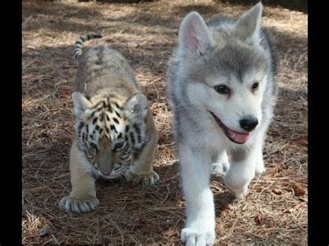tiger and wolf babies youtube