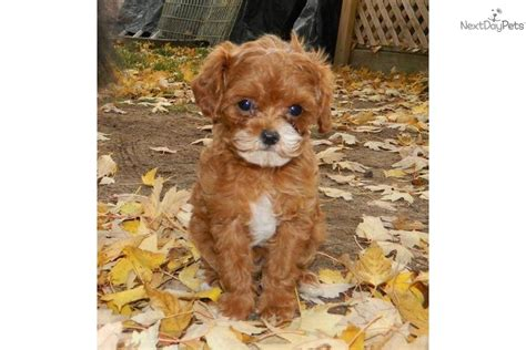 cavapoo puppies for sale in indiana cavapoo puppy for sale near south bend michiana indiana 0b0aac0a ce11