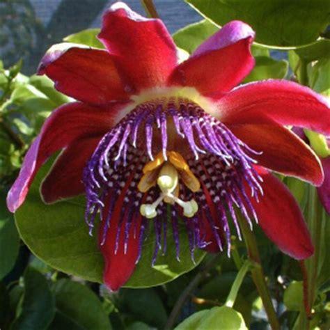 passiflora fiore pianta passiflora consegna piante domicilio