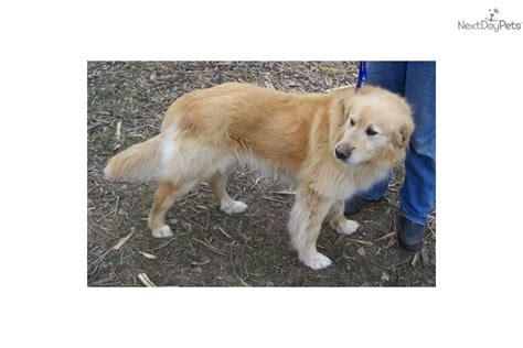 golden retriever great pyrenees puppies for sale golden retriever puppy for sale near northeast sd south dakota 5c7446ac 9591