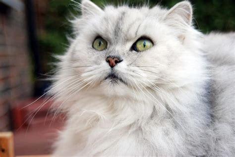 gatti persiani prezzi gatto chinchilla caratteristiche prezzo carattere