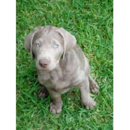 silver lab puppies colorado silver lab breeders colorado breeds picture