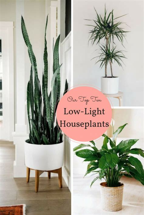 plants that need low light 25 best ideas about snake plant on pinterest indoor