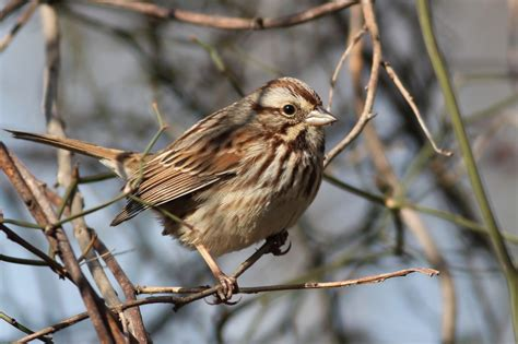 pa macgillivray s warbler update by alex lamoreaux