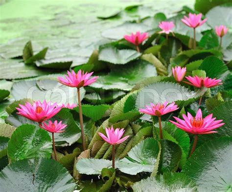 water flower bloom water sparkle lotus flower water mauve lotus flower blooming in the pond the lotus is