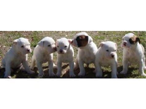 boxer puppies for sale ta boxer puppies for sale