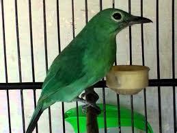 Cucak Jenggot Jawa Muda merawat cucak ijo supaya gacor ngentrok situs burung