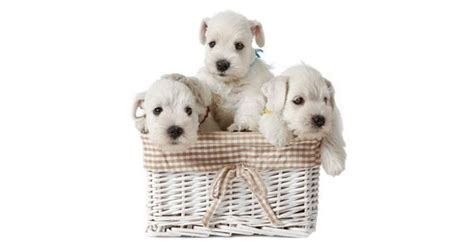when do puppies wean 17 best ideas about weaning puppies on whelping box pet kennels and