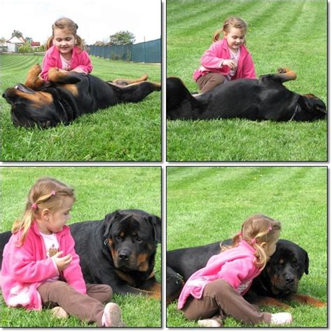 rottweiler with children 17 best images about rottweiler on cesar millan puppys and rottweiler