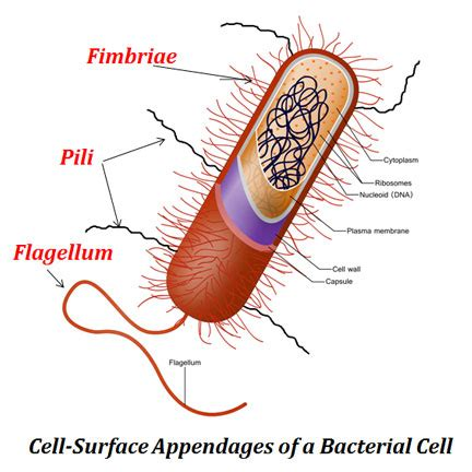 bacterial flagella, fimbriae and pili | easybiologyclass