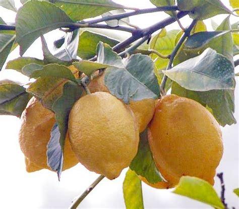 concimi per limoni in vaso limone concimi e fertilizzanti per coltivare gli agrumi
