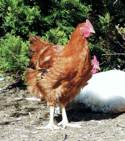 Best Backyard Chicken Breed Best Chicken Breeds For White With Best Backyard Chickens Gogo Papa