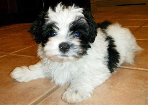 buy havanese puppies uk 138 best images about havanese dogs on