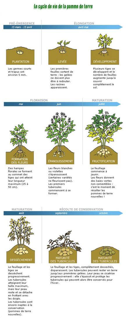 Quand Planter Les Patates Douces by Quand Planter Les Patates Swyze