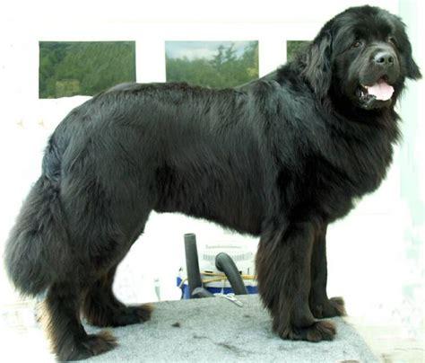 akc puppy breeders bakerbay newfoundland kennel akc newfoundland breeders breeds