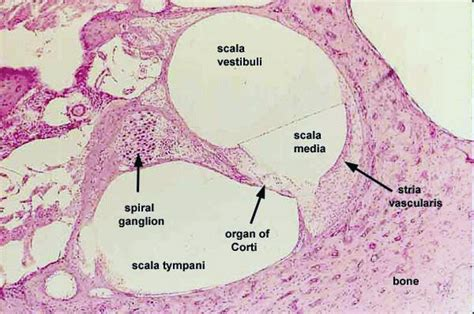 cross section of cochlea scala media