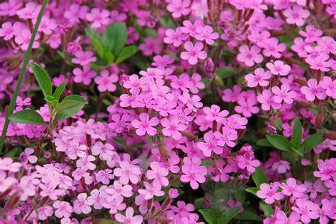 fiori da bordura pieno sole paretiverdi piante tappezzanti le caratteristiche delle