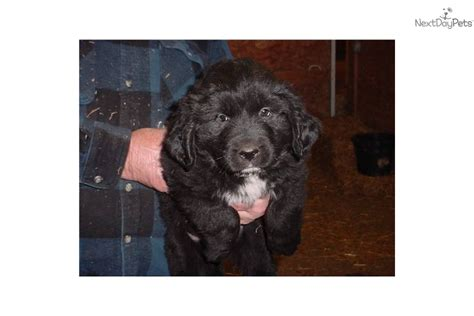 newfoundland puppies for sale in ohio newfoundland for sale for 900 near dayton springfield ohio e2d81f85 aa21
