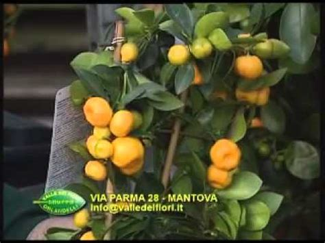 valle dei fiori valle dei fiori via parma mantova 3a parte gli agrumi