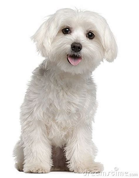 puppy cut maltese 1000 images about maltese cuts on cut hairstyles maltese puppies and search