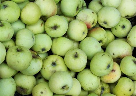 alte apfelsorten in deutschland 2974 wei 223 er klarapfel weizenapfel bekannteste fr 252 hsorte