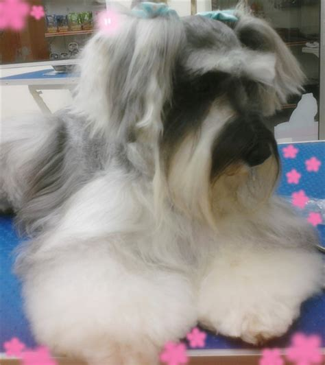 Pictures Miniature Schnauzer With Long Hair   long hair schnauzer animals pinterest