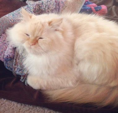 ragdoll orange white orange ragdoll cat missing in