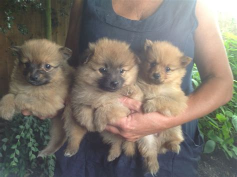 pomeranian puppies sale beautiful litter of pomeranian puppies for sale broxbourne hertfordshire pets4homes