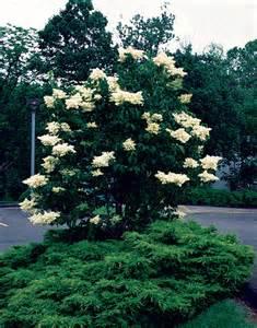 White Flowering Tree - gallery for gt japanese white flowering trees