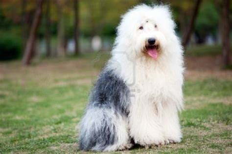 sheep dogs sheepdog pictures wallpapers9