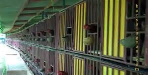 model kandang anak aym unggulan beberapa contoh kandang ayam pelung informasi ternak