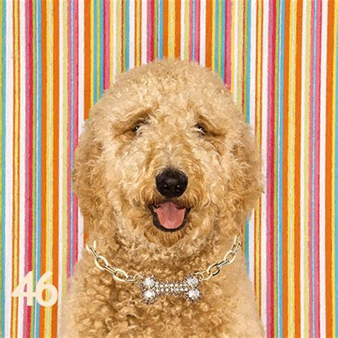 goldendoodle puppy throwing up goldendoodle home furnishers