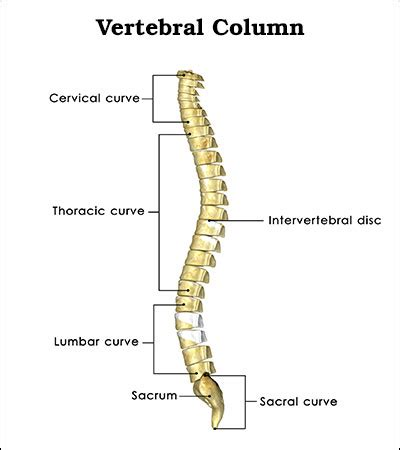 the spinal column is divided into how many sections things you must know about retrolisthesis