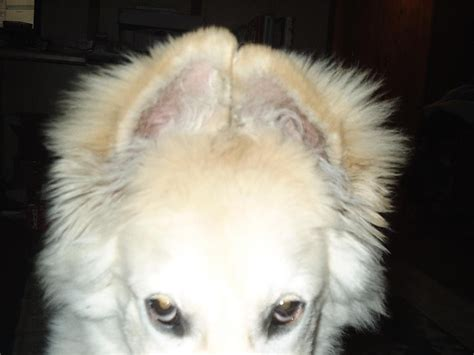 when do puppies ears open ear taping am i doing it right