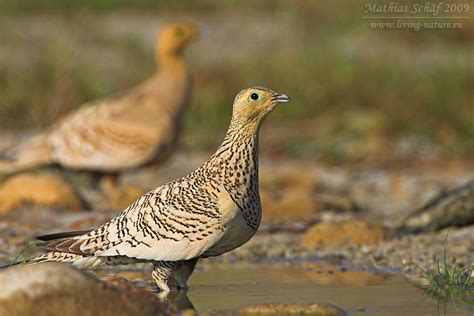 Braunbauchflughuhn / Chestnut-bellied Sandgrouse ...