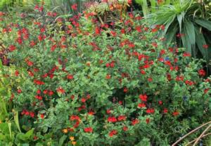 salvia greggii royal bumble buy online at annie s annuals